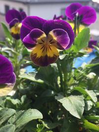 ビオラの押し花 - 空色のココロ~小さな幸せを探して~