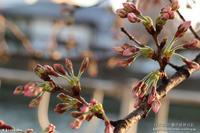 お散歩桜 その4 - パピヨン小雪の徒然日記