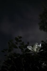 夜の散歩(3cut) 白木蓮 -     ~風に乗って~    Present