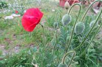 桜ひなげし咲く春の庭、ペルージャ - ペルージャ イタリア語・日本語教師 なおこのブログ - Fotoblog da Perugia