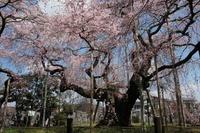 般若院のしだれ桜 - 亢竜悔いあり