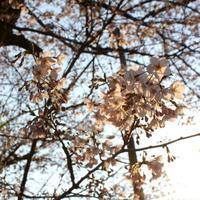 Good day w/ cherry blossoms. - Life w/ Pure & Style