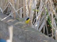 初見初撮りカオグロアメリカムシクイ - 『彩の国ピンボケ野鳥写真館』