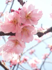 上野恩賜公園の桜 -  小さじいっぱいのたいよう