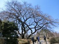 巨樹・古木を訪ねるフットパス - 風路のこぶちさわ日記