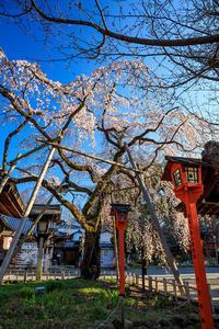 京都の桜2017 魁!平野神社 - 花景色-K.W.C. PhotoBlog