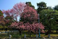 青空に映える黒木の梅(京都御所) - 花景色-K.W.C. PhotoBlog