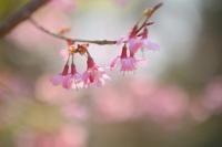 Cherry Blossom - kzking1963 Digital Photo Diary