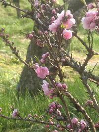 中川の花桃祭り(2)黄色い花が多い季節 - 活花生活(2)