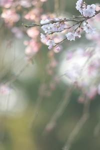 桜♪ - ちん・ちくりん