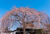 京都の桜 2017 〜本満寺・上品蓮台寺〜 - ◆Akira's Candid Photography