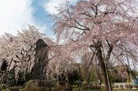 満開だった東郷寺の枝垂桜 - あだっちゃんの花鳥風月