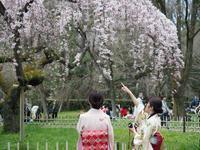 京都 桜 2017 その2 - お寺や神社、古い町並み、鉄道、他色々の写真ブログ