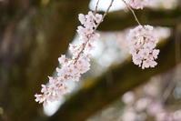 お寺さんの枝垂れ桜、満開!リベンジできました♪ 5 - Let's Enjoy Everyday!