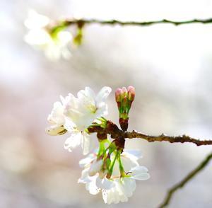 ★2017.さくら・サクラ・桜★ - 気ままに・・・
