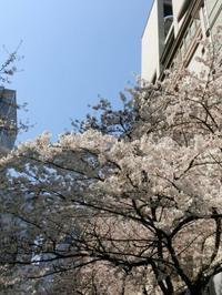4/3、日本橋の桜 - 某の雑記帳