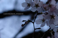 宵桜 - favorite pursuit