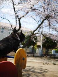 近所の桜 - ichibey日々の記録