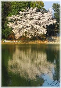 桜の花のかたち~✿  さくら散歩2 - 日々楽しく ♪mon bonheur