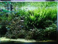 レグラス水槽にブセファランドラ集結 - 癒しのアクアライフ