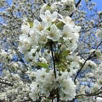 Hyde Parkの桜と白鳥 - Chakomonkey Everyday in London