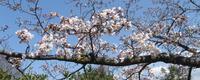 奈良でも桜の開花です,平年より5日遅く - 楽餓鬼