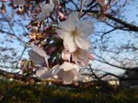 梅は~咲いたか、桜は未だかいな~♪ - 食いしん坊イノキチとカイトの日記