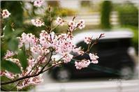 三月のさくら*Ⅰ - It's only photo
