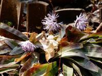 初見の花・「ショウジョウバカマ」 - 【出逢いの花々】
