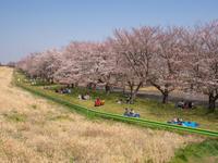 川越水上公園の桜 - 空を見上げて