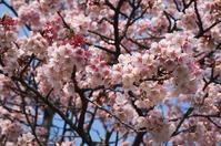 桜 - 常にカメラを持ち歩く