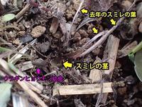 ウラギンヒョウモン幼虫の根齧り - 秩父の蝶