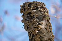コゲラの巣からコゲラ - 身近な動物・植物