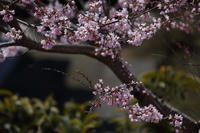 庭の彼岸桜  - 風の彩り-2