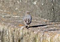 ・イソヒヨドリ - 鳥見撮り