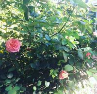 うちの庭これから見頃なのに - ちょっと田舎暮しCalifornia