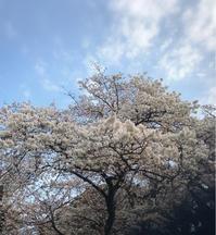 桜がやっと - ~Have a lovely time~
