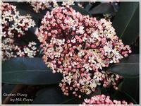 Flor de Skimmia Rubella - Garden Diary