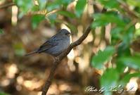 久しぶりに「クロジ」さんを撮影しました^^ - ケンケン&ミントの鳥撮りLifeⅡ