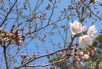 そろそろかと思うたけど一分咲きにも満たない - 新生・gogoワテは行く!