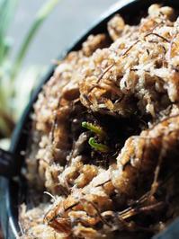 エラフォグロッサムの1種(トンパープム産) #2 - Blog: Living Tropically
