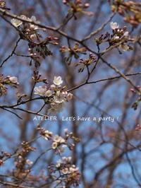 咲き始めの桜でお花見~ ♪ - ATELIER Let's have a party ! (アトリエレッツハブアパーティー)         テーブルコーディネート&おもてなし料理教室