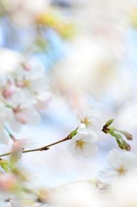 今日のさくら 4月3日@大宮公園(2) - 今日の小さなシアワセ