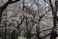 桜・桜・・桜・・・ - 黒猫瓦版