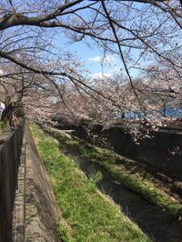 1歳9ヶ月0日。また桜見散歩 - こんな私のはじめての妊娠・出産…そして子育て真っ最中