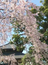 今年の桜 - Oi!