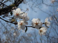 桜 - 散歩日和