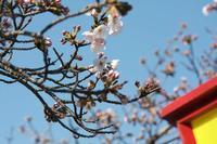 日岡山の桜 ③ - グル的日乗
