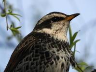 鳥の目 - Bird's eye - SPICE - 茉莉花香辛料