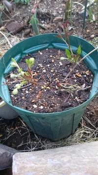 庭メモ ✏2017年4月4日現在のクレマチス品種 - つぶやき。記録。時々日記。
